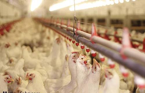علت گرانی قیمت مرغ