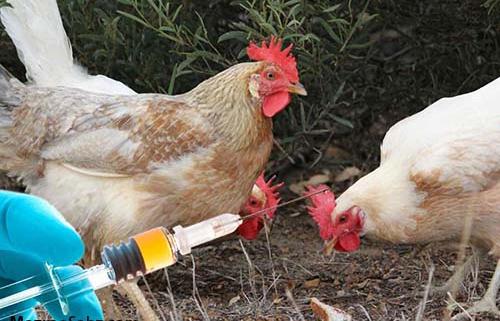 نکات عملیات واکسینه پرنده