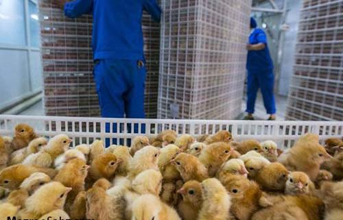ضرر ماهانه در تولید کننده گان جوجه یک روزه
