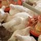 مانان اولیگوساکارید برای کاهش تاثیرات سمی آفلاتوکسین