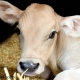 کاهش استرس حمل در گوساله ها