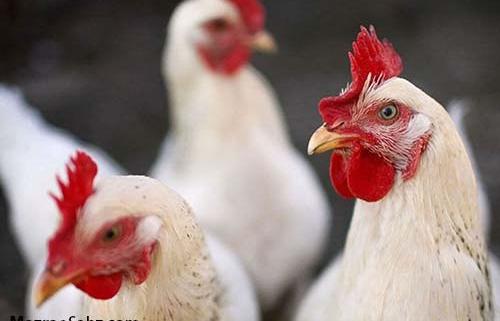 شناسنامه برای مرغ ها