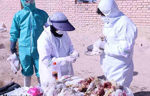توصیه های پیشگیری آنفولانزای حاد پرندگان