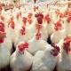 هر کیلو 700 تومان ضرر مرغداران