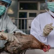 تلفات آنفولانزا مرغی در انگلستان
