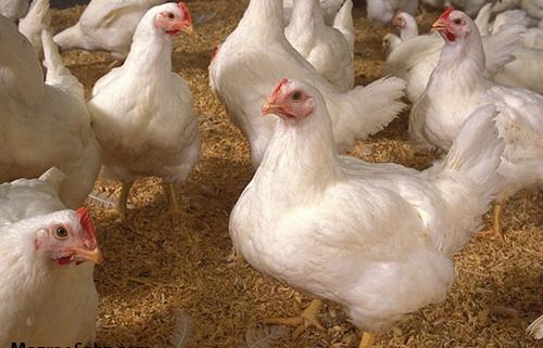 همه دانستنی های مرغ و تخم مرغ ارگانیک