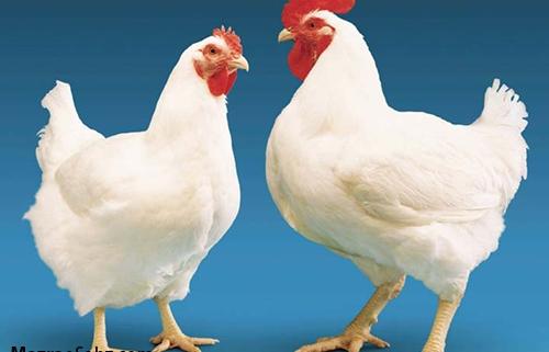 ضرر مرغ داران در کاهش قیمت مرغ