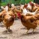 چگونگی مرغ و تخم مرغ ارگانیک