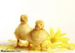 پرورش اردک پکنی