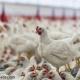 چالش بزرگ تولیدکنندگان مرغ