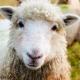 تولید نسل جدید گوسفند بومی