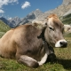 معدوم کردن گاو ماده