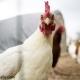 احتمال کاهش تولید گوشت مرغ