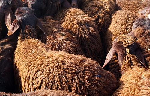 راندمان بالای گوسفند شیروان