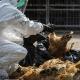 معدوم کردن مرغ در ژاپن