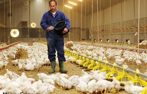 عدم افزایش قیمت توسط مرغداران