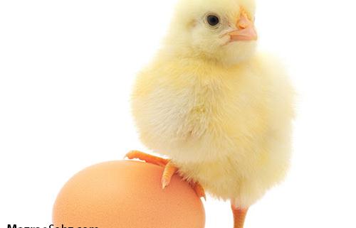 مدت زمان تولید یک تخم مرغ