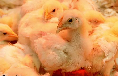 فشار تامین جوجه روی مرغدار