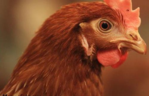 دولت آینده و گرانی مرغ