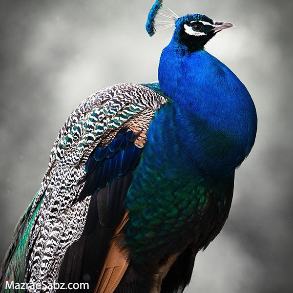 طاووس نر