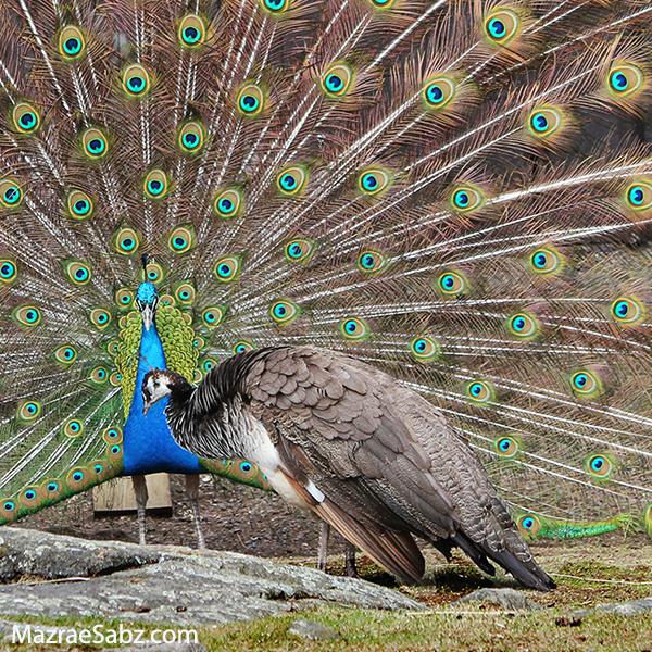 طاووس ماده