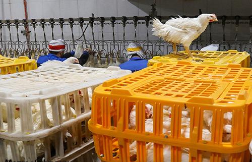 نرخ عرضه بی سر و سامان مرغ زنده