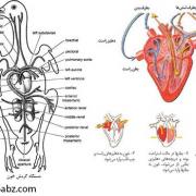 فیزیولوژی گردن خون طیور ( قسمت سوم )